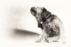 Black, white, dog, terrier, scratch, scratching, copy space, ful. Black and white fine art portrait of cute Border Terrier with left copy space. The hairy dog is Royalty Free Stock Photo