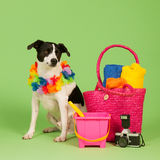 Black and white dog on vacation Royalty Free Stock Images