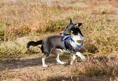 Black and white dog walks on dry grass. A cute puppy runs down the street in the autumn. royalty free stock photos