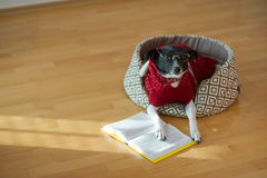 Black - white dog wearing glasses and red suit on his couch in the middle of an empty room. Royalty Free Stock Photos