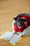 Black - white dog wearing glasses and red suit on his couch in the middle of an empty room. Royalty Free Stock Photo