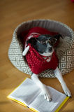 Black - white dog wearing glasses and red suit on his couch in the middle of an empty room. Royalty Free Stock Images