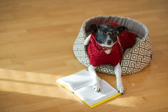Black - white dog wearing glasses and red suit on his couch in the middle of an empty room. Royalty Free Stock Image