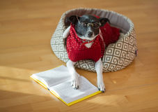 Black - white dog wearing glasses and red suit on his couch in the middle of an empty room. Stock Photos