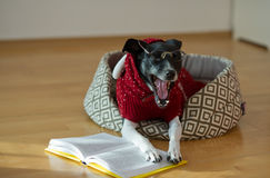 Black - white dog wearing glasses and red suit on his couch in the middle of an empty room. Stock Photography