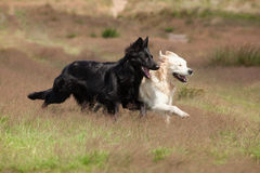 Black and White dogs running together Stock Photography