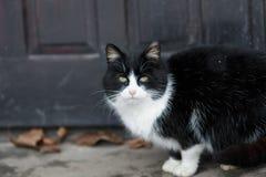 Black and white domesti cat Royalty Free Stock Image