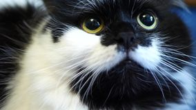 Black and white domestic cat. Lying on blue floor stock footage