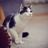 Black-and-white domestic cat Royalty Free Stock Images