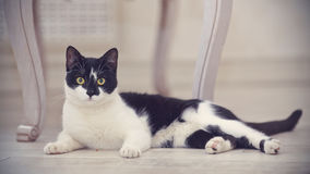 Black-and-white domestic cat lies Royalty Free Stock Photography