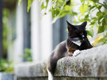 Black white domestic cat Royalty Free Stock Photography