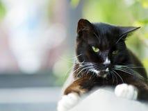 Black white domestic cat Stock Photography