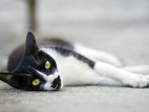 Black white domestic cat Royalty Free Stock Photo