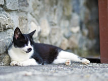 Black white domestic cat Royalty Free Stock Images