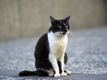 Black white domestic cat Stock Photography