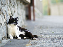 Black white domestic cat Stock Photo