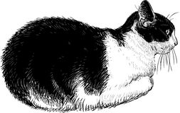 Black and white domestic cat Royalty Free Stock Photo