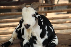 Black and white domestic goat Stock Images