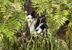 Black and white domestic pet cat sitting in pot plant which hangs from tree Royalty Free Stock Photos