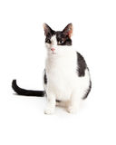 Black and White Domestic Shorthair Cat Sitting Royalty Free Stock Photo