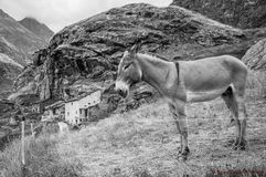 Black and white donkey. In Malciaussia lake (piedmont italy royalty free stock image
