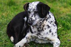 Black and white dor laying in the gras royalty free stock images