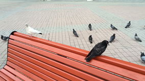 Black and white dove sitting on a bench stock video footage