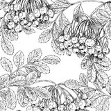 Black and white drawing autumn bunches of rowan Royalty Free Stock Image