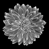 Black and white drawing of dahlia flower Royalty Free Stock Photo