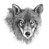 Black and white drawing of a wolf head. Hand-drawn illustration, isolated on white Stock Photo