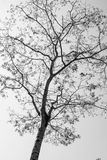 Black and white dry tree Royalty Free Stock Images