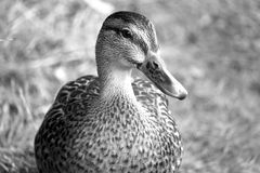 Black and White duck. Love this photo, found a lonely duck by the side of a river - thought I'd snap a shot Royalty Free Stock Images