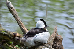 Black and white duck Stock Image