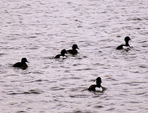 Black and white ducks formation. Black and white ducks on lake surface stock photo