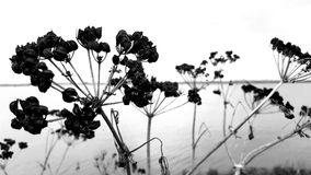 Black and white. Dying weeds on Norfolk Broads. Royalty Free Stock Image