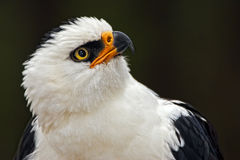 Black and white eagle Stock Photography