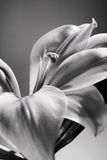 Black and white Easter Lily Stock Image