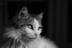 Black and white elegant cat. A black and white domesticated cat staring to the right of frame Royalty Free Stock Images