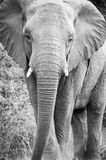 Black and white elephant. Black and white image of an elephant at kruger park royalty free stock photos