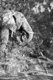 Black and white elephant. Black and white image of an elephant at kruger park royalty free stock photo