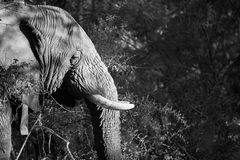 Black and white elephant. Black and white image of an elephant at kruger park stock image