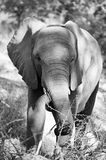 Black and white elephant. Black and white image of an elephant at kruger park royalty free stock images