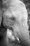 Black and white elephant. Young elephant at kruger park royalty free stock image