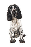 Black and white english cocker spaniel looking up Stock Image