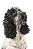 Black and white english cocker spaniel looking up. Isolated on white Stock Photos