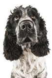 Black and white english cocker spaniel looking up Royalty Free Stock Photos