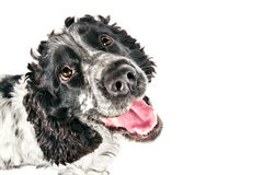 Black and white english cocker spaniel looking up Stock Photography