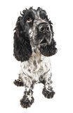 Black and white english cocker spaniel looking up. Isolated on white Stock Photography