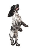 Black and white english cocker spaniel standing. Black and white english cocker spaniel isolated on white Royalty Free Stock Images
