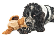 Black and white english cocker spaniel with a toy. Isolated on white Stock Image